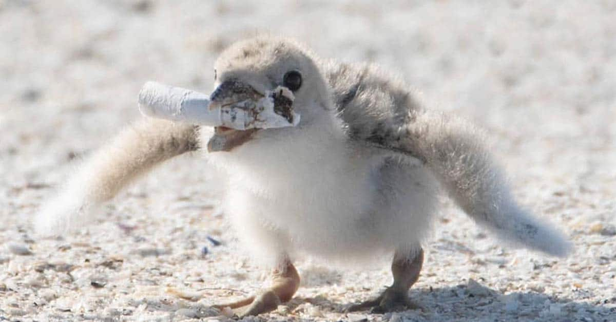 Photographer registers marine bird feeding cub with cigarette butt