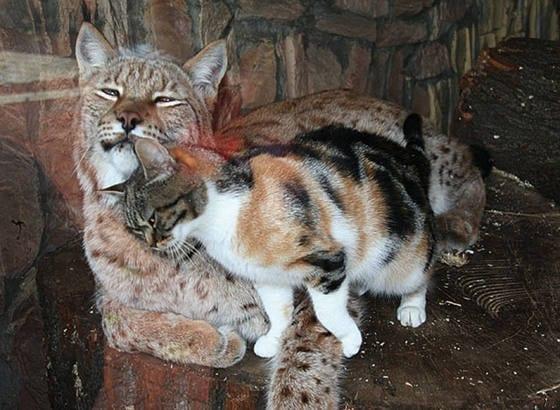 Gato de rua invade o zoológico e se torna o melhor amigo de um lince