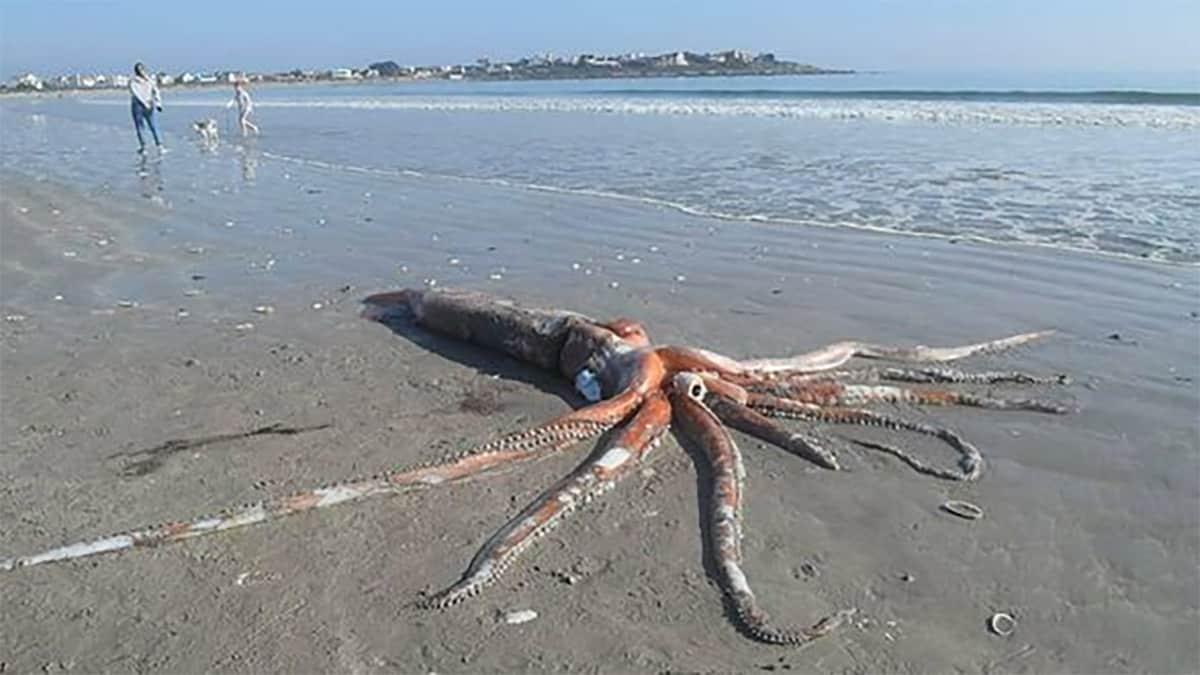 Lula gigante é encontrada em uma praia da África do Sul