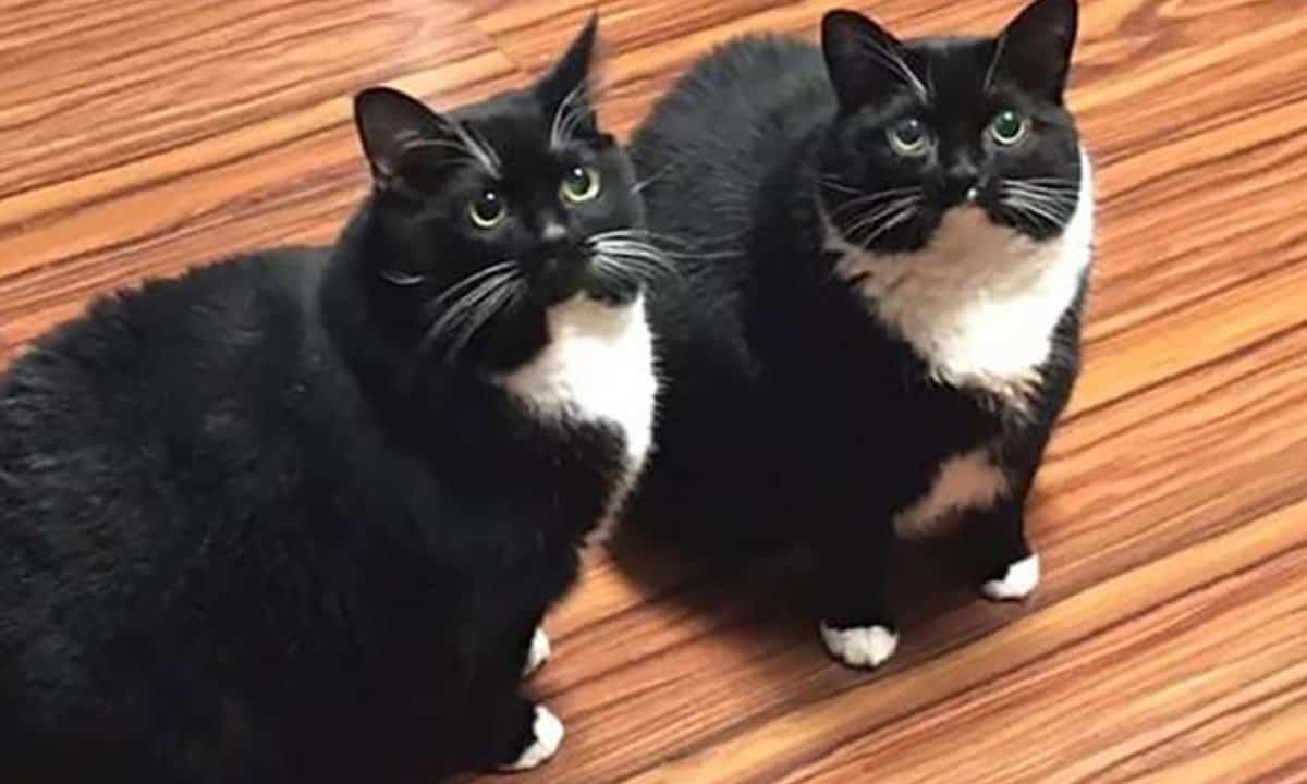 Russo perde gato, acha o gato, gato volta sozinho e agora ele tem dois idênticos